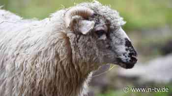 """""""Das Fleisch nahmen sie mit"""": Unbekannte schlachten Zoo-Schafe ab"""