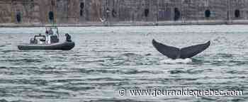 La baleine qui, sans le savoir, sonnait l'alarme