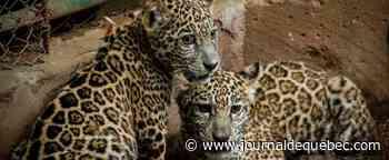 Nicaragua: deux bébés jaguars sauvés des mains de trafiquants grâce aux réseaux sociaux