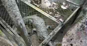 VIDEO: Rescatan un caimán en Sabana de Torres, Santander - Canal TRO