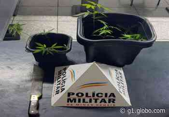 Pés de maconha são apreendidos pela Polícia Militar após denúncia em Pitangui - G1