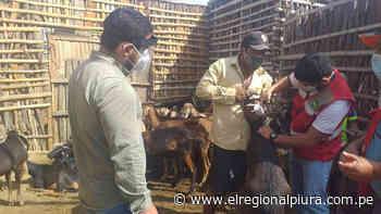 Sullana: inician jornada de vacunación de ganado en el distrito de Querecotillo - El Regional