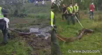 [Video] Atrapan una anaconda de más de 6 metros de largo cerca de hotel en el Meta - Pulzo.com