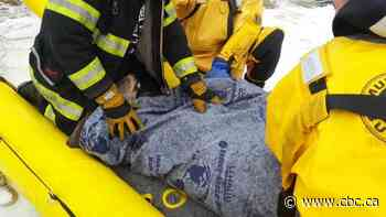 Firefighters rescue pregnant doe from thin ice on Richibucto River - CBC.ca