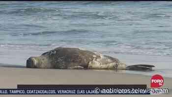 Arriba elefante marino a la playa 'El Palmarcito' en Pijijiapan, Chiapas - Noticieros Televisa