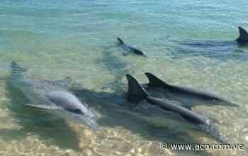 Delfines llegan a la orilla de bahía de Pampatar - ACN ( Agencia Carabobeña de Noticias)