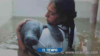 La bella historia de un manatí que cambió la vida de una población - ElTiempo.com