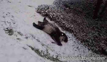 Pandas Enjoy Snow Day At National Zoo