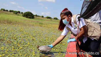 Liberan especies silvestres en la ciénaga de Ayapel, sur de Córdoba - EL HERALDO