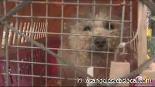 WATCH: Dogs Rescued From Illegal Meat Trade, Trafficking Arrive At Airport To Meet Furever Families