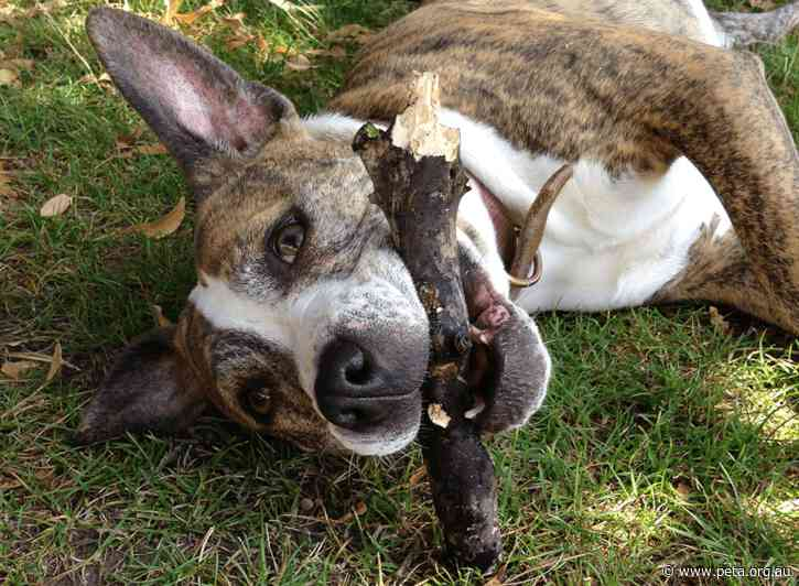 We Did It: Staffy Puppy Farm Plans Rejected!