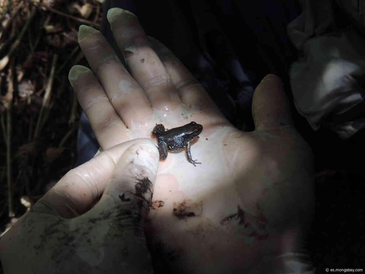 Venezuela: las ranas de Mucuchíes vuelven a su hábitat en plena pandemia de COVID-19 - Mongabay en Español