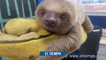 Hallan a cría de perezoso aferrada su madre, atropellada en Cachipay - ElTiempo.com