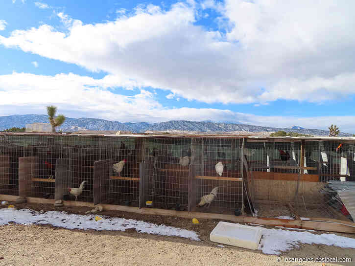 70 Cockfighting Roosters Seized From Property In Llano