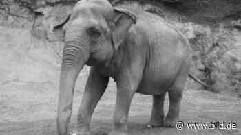 Neunkirchen: Nach 15 Jahren im Zoo: Elefantendame Kirsty gestorben - BILD