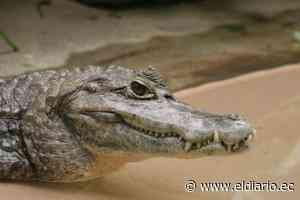 Municipio de Rocafuerte alerta a los ciudadanos sobre la presencia de un caimán | El Diario Ecuador - El Diario Ecuador