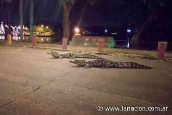 Horror en el shopping: caimanes de dos metros caminaron por los pasillos - LA NACION