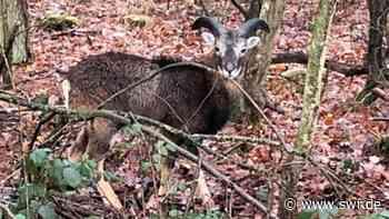 Mufflon stöbert durch den Wald bei Altleiningen - SWR
