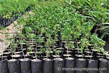 Lambayeque: con 300,000 plantones reforestarán zonas altoandinas de Ferreñafe - Mercados & Regiones