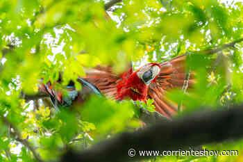 Liberaron a los primeros pichones de guacamayo rojo nacidos en el Iberá - CorrientesHoy.com
