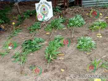 Lomas del Mirador: no eran precisamente plantas de mandioca - 1588