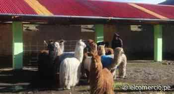 Apurímac: 20 familias ganaderas protegerán a sus animales de las heladas gracias a cobertizos - El Comercio Perú