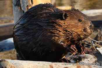 Annapolis Royal woman calling for change after controversial beaver culling - SaltWire Network