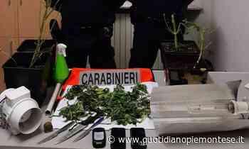 A Saluggia denunciato 23enne per coltivazione di marijuana e resistenza a pubblico ufficiale - Quotidiano Piemontese
