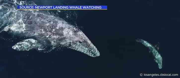 Rare Sight: Whales And Dolphins Mingle Off Catalina Island