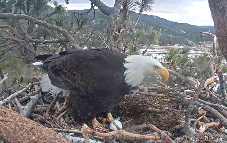Big Bear Eagle Lays Fourth Egg After Losing First 2 To Ravens, Third In Accident