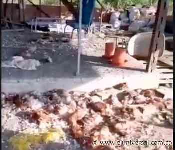 Comunidad se robó 25.000 gallinas de una fina en Repelón, Atlántico - El Universal - Colombia
