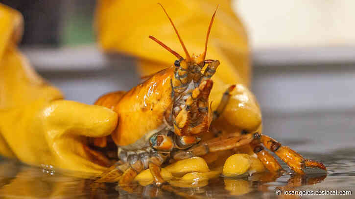 Rare Yellow Lobster Named Banana Caught Off Maine