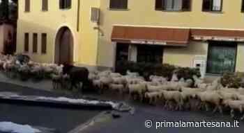 """Gregge di pecore a """"spasso"""" per Bussero VIDEO - Prima la Martesana"""