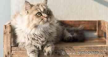 Persan : 9 choses à savoir sur cette race de chat - Demotivateur