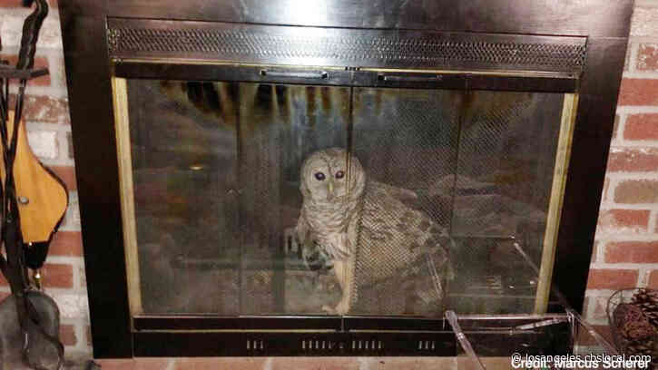 Barred Owl Gets Stuck In Fireplace After Going Down Chimney