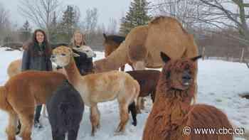 Camel rides coming to join the llama hikers near Shediac this summer - CBC.ca
