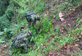 Mil hojas de coca fueron erradicadas en zona rural del municipio de Rioblanco - Alerta Tolima