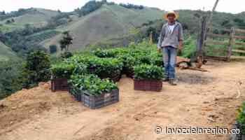80 caficultores de Baraya recibieron apoyo para renovar sus cultivos - Huila