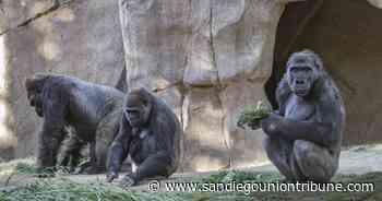 Los gorilas del Safari Park se recuperan del coronavirus - San Diego Union-Tribune en Español
