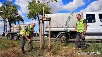 Natur in der Gemeinde: Baumpatenschaften für mehr Grün in Fredersdorf-Vogelsdorf - moz.de