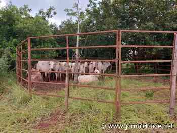 Gados furtados em Vargem Grande do Sul são localizados pela Patrulha Rural da PM em Ipeúna - Grupo JC de Comunicação