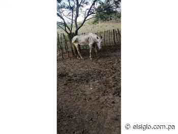 Residentes de Lídice denuncian estado de abandono de un caballo - El Siglo Panamá