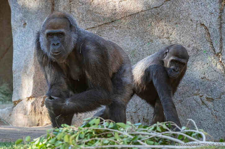 San Diego Gorillas Recover After Contracting COVID-19
