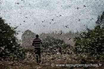Meru (Kenya) (AFP). Dans le ciel du Kenya, l'inlassable chasse aux criquets pélerins - Le Courrier Cauchois