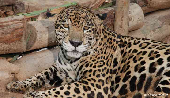 Jaguar sigue atacando a resguardo indígena y hay alerta en Cubará, Boyacá - Caracol Radio