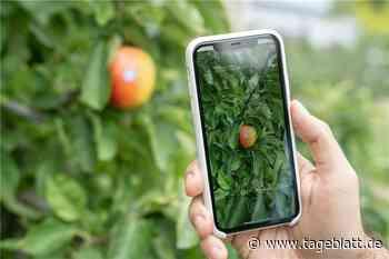 Ernteschätzung mit dem Smartphone - Jork - Tageblatt-online