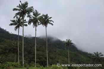 Chaguaní: un tesoro de palmas de cera escondido en Cundinamarca - El Espectador