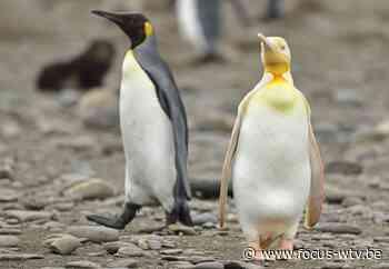 Natuurfotograaf uit Koekelare legt zeldzame pinguïn vast op foto - Focus en WTV