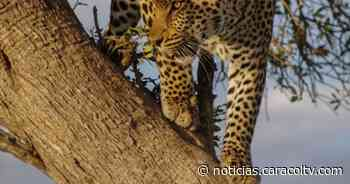 Jaguar sigue asustando a comunidad indígena en Boyacá: hubo nuevos ataques - Noticias Caracol