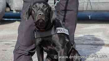 Meet Brockton's newest police K9 Woody, the first retriever and narcotics dog - Enterprise News